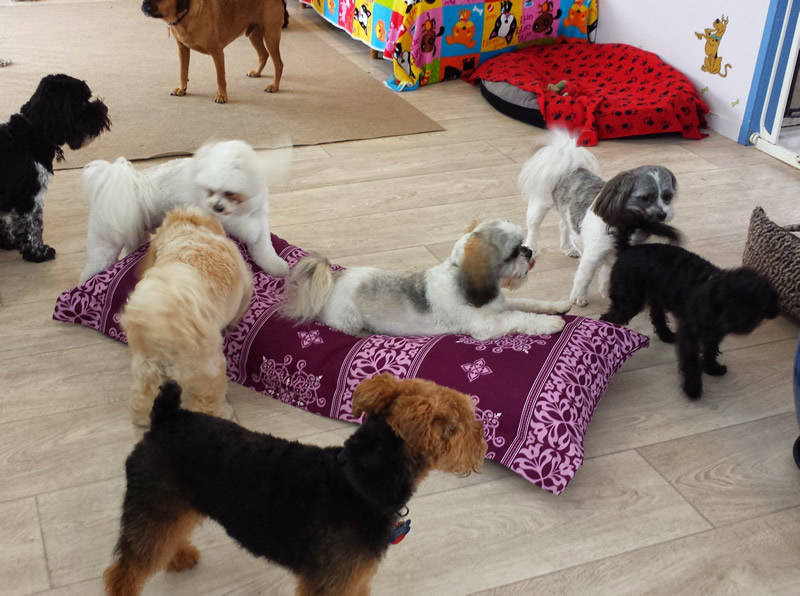 Dogs play time with the cushions